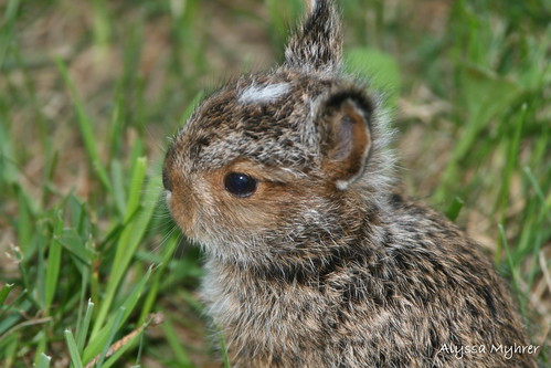 baby bunny by amyhrer