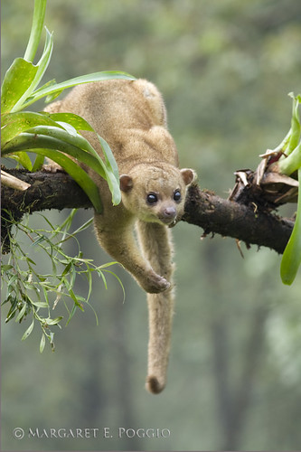 Kinkajou Hanging Over Branch