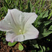 coast range false bindweed - Photo (c) randomtruth, some rights reserved (CC BY-NC-SA)