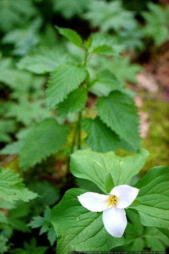 trillium and stinging nettle    MG 0773