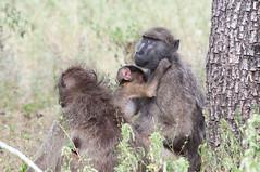 western gorilla(0.0), gorilla(0.0), animal(1.0), baboon(1.0), monkey(1.0), mammal(1.0), fauna(1.0), old world monkey(1.0), macaque(1.0), ape(1.0), safari(1.0), wildlife(1.0),