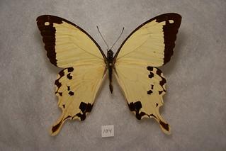 Mocker Swallowtail -- Ethiopia