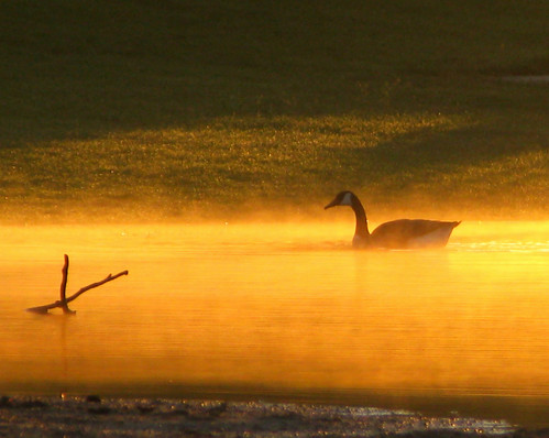 Canada Goose In Golden Mist