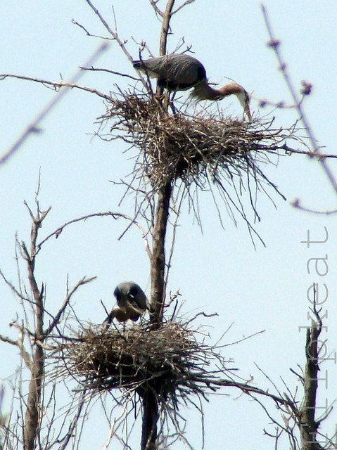 You Raise Me Up2 (Great Blue Heron Nests)
