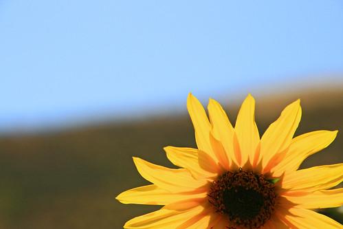 flower sunflower wildsunflower