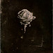 Collodion : Rose by Francis Courtemanche