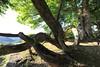 Photo:Trees / 木(き) By TANAKA Juuyoh (田中十洋)