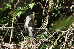 Mangrove Cuckoo, Soufriere, St Lucia, 2005-12-22 (6 of 6).jpg