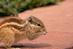 animal, squirrel, rodent, fauna, close-up, chipmunk, whiskers, wildlife,