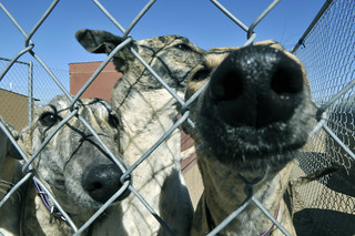 Greyhounds through the fence