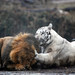 White tiger hits Lion by floridapfe