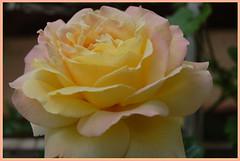 garden roses(1.0), rosa 㗠centifolia(1.0), floribunda(1.0), flower(1.0), yellow(1.0), rosa foetida(1.0), plant(1.0), petal(1.0),