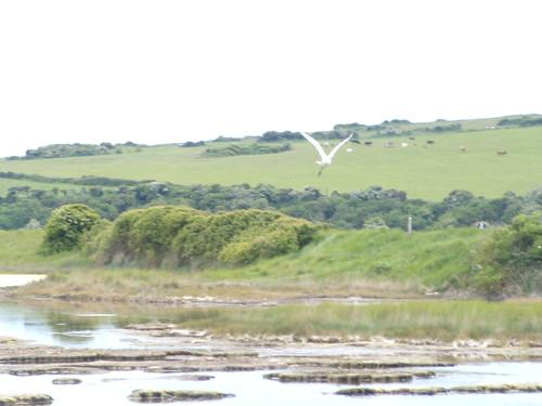 Little Egret 3
