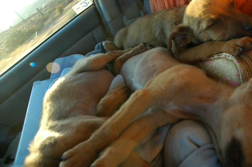 3 Sleepy puppies in transport, front seat, to the next hotel, recovering nicely from starvation, Baja California, Mexico by Wonderlane