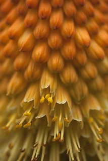 red hot poker, torch-lily
