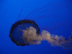 DSC01872-Sea nettle