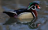 Wood Duck Wallpaper for Widescreen
