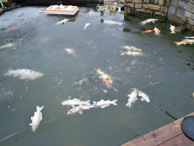 Fish Dying In Backyard Pond :  Collection Galleries World Map App Garden Camera Finder Flickr Blog