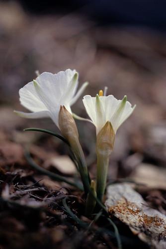 Narcussus cantabricus(monophyllus?)