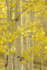blossom, birch, branch, leaf, yellow, tree, sunlight, plant, flora, autumn,