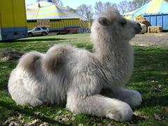 White baby camel