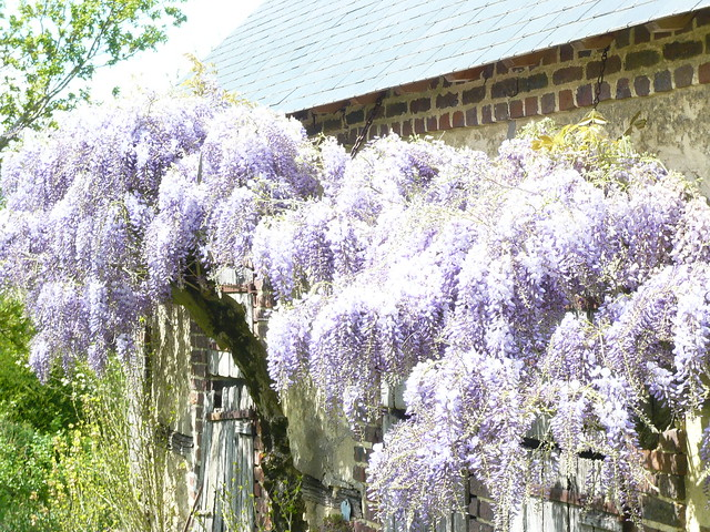 wisteria floribunda definition meaning