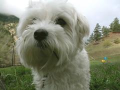 dandie dinmont terrier(0.0), miniature poodle(1.0), bichon frisã©(1.0), dog breed(1.0), animal(1.0), dog(1.0), schnoodle(1.0), pet(1.0), coton de tulear(1.0), lã¶wchen(1.0), polish lowland sheepdog(1.0), tibetan terrier(1.0), glen of imaal terrier(1.0), bolonka(1.0), poodle crossbreed(1.0), biewer terrier(1.0), havanese(1.0), lhasa apso(1.0), bichon(1.0), sapsali(1.0), west highland white terrier(1.0), maltese(1.0), bolognese(1.0), carnivoran(1.0),