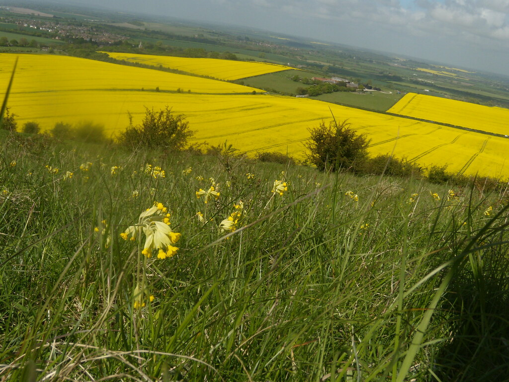 Cowslips with rapefields below Tring to Berkhamsted Nice pic - shame about the angle.