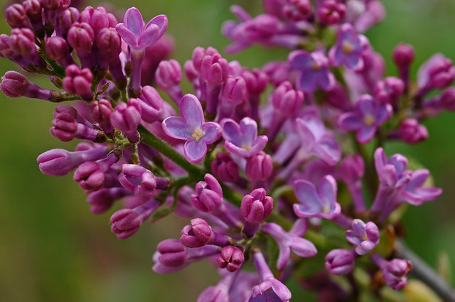 lilacs opening
