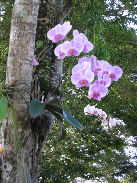 orchids growing on a tree flickr   photo sharing