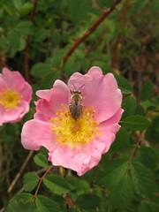 shrub(0.0), garden roses(0.0), blossom(1.0), flower(1.0), rosa gallica(1.0), rosa rubiginosa(1.0), macro photography(1.0), rosa canina(1.0), wildflower(1.0), flora(1.0), rosa acicularis(1.0), rosa rugosa(1.0), petal(1.0),