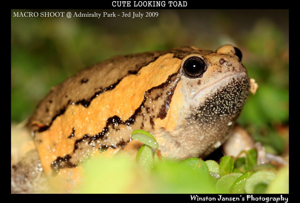 Banded Bull Frog (Kaloula pulchra)