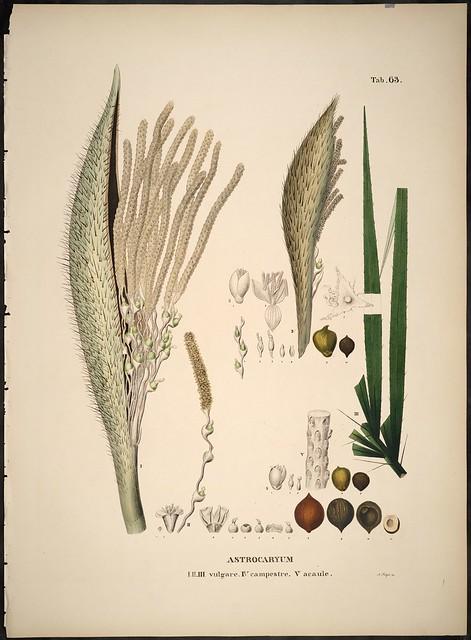 Astrocaryum species