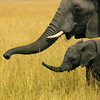 Mother and baby elephants - Kenya