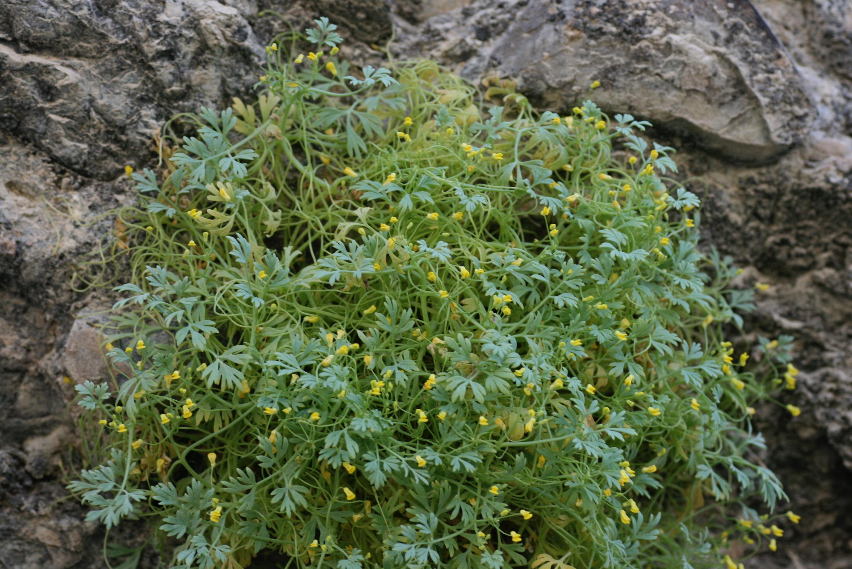 Fumariola turkestanica (Fumariaceae)