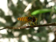 Orange striped hover fly on branch