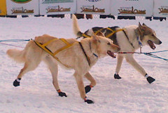 animal, dog, snow, mammal, mushing, greenland dog, wolfdog, saarloos wolfdog, sled dog racing,