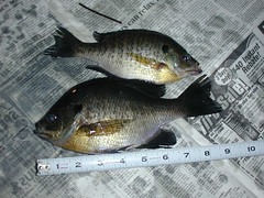 Bluegill from Lilly Lake