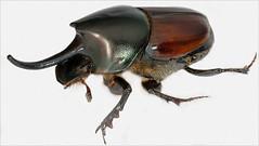 arthropod, animal, japanese rhinoceros beetle, rhinoceros beetle, invertebrate, insect, macro photography, fauna, close-up, beetle,