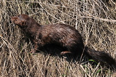 whiskers(0.0), animal(1.0), otter(1.0), mammal(1.0), fauna(1.0), polecat(1.0), mink(1.0), wildlife(1.0),