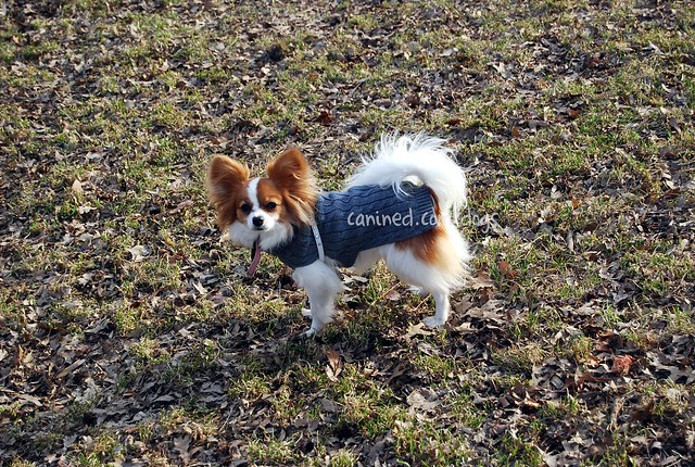 Canined red white black papillon toy spaniel dog pictures for Papillon new york