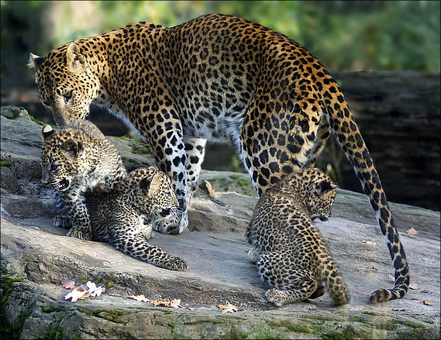 Family Sri Lanka Leopards