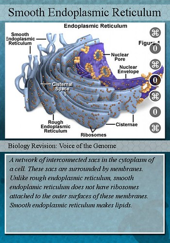 Cell Organelles And Their Functions Flashcards | Quizlet
