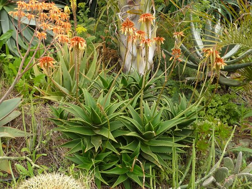 Aloe x delaetti by Luis Borja