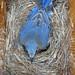 EasternBluebird 20090412L 022wf by lucycat