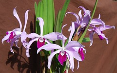 Laelia Lucy Ingram