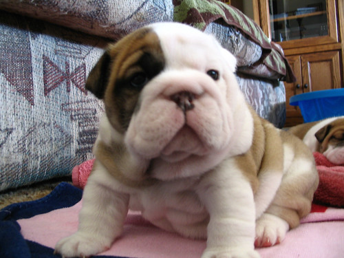 Shar pei beagle mix puppies for sale quotes for Shar pei puppies for sale craigslist