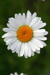 annual plant, flower, yellow, marguerite daisy, chamaemelum nobile, daisy, macro photography, wildflower, flora, oxeye daisy, close-up, daisy, petal,