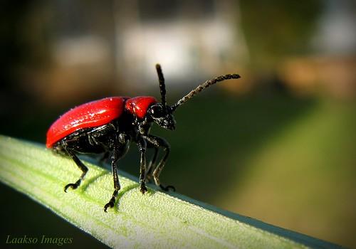 red macro green nature suomi finland insect bokeh maria beetle images sue onehandshot kerimäki luonto laakso punainen hyönteinen scarletlilybeetle anttola insectphotography canonpowershota710is liljakukko marialaakso sue323 laaksoimages