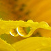 Sunflower  Drops